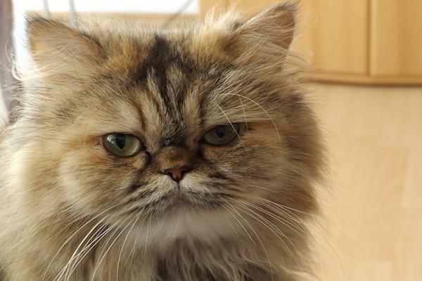 gatto persiano sguardo buffo