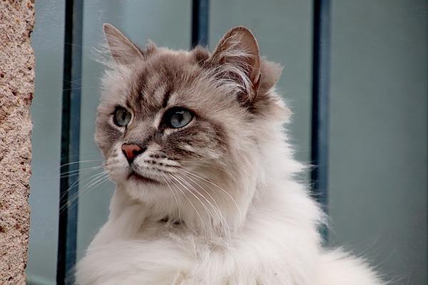 gatto d'angora concentrato