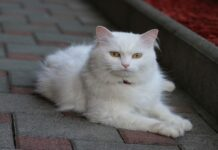 gatto d'angora e maine coon similitudini