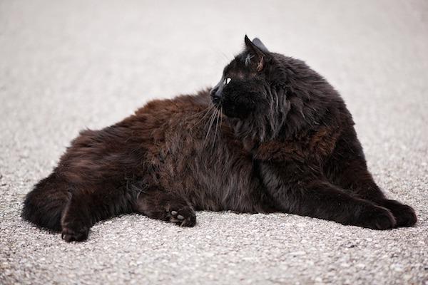 gatto d'ancora brillantezza pelo