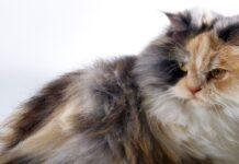 gatto d'angora ha bisogno del bagno