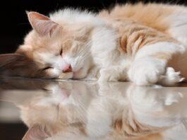 gatto d'angora salute