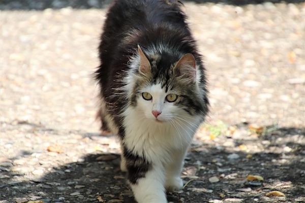 gatto d'angora cosa sapere sul manto