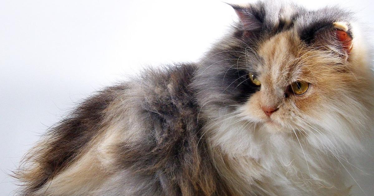 gatto d'angora pelo e cura