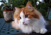 gatto turco pelo marrone