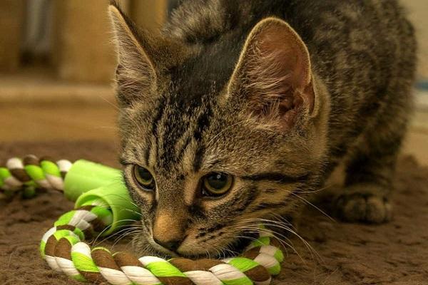 gatto gioca con corda