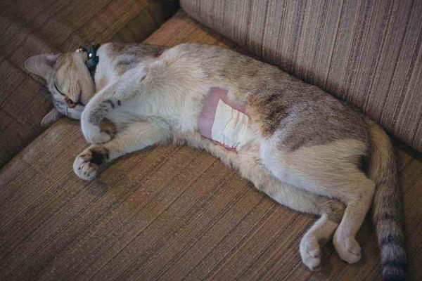 gatto operato allo stomaco