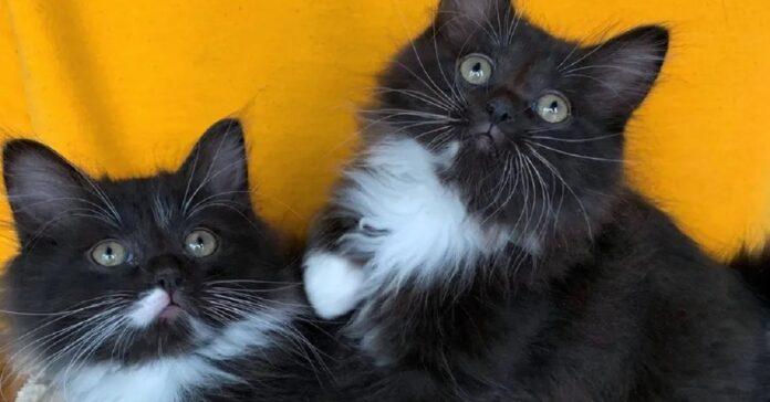 Berlioz e Chopin i gattini inseparabili foto