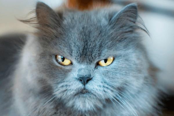 gatto persiano di colore blu