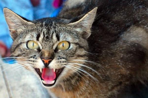 gatto che soffia perché ha paura
