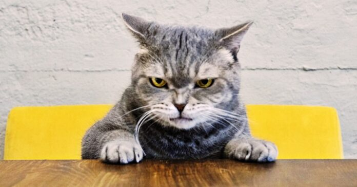 gatto arrabbiato