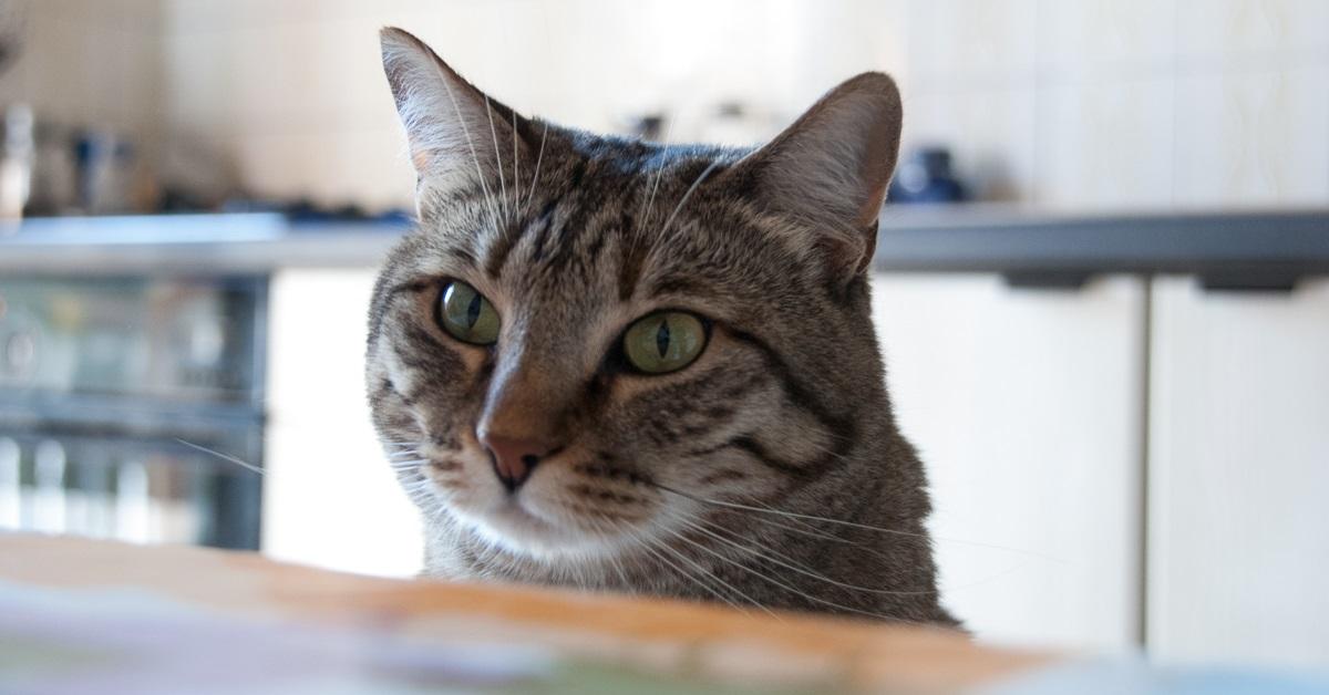 gatto seduto sulla sedia del tavolo da pranzo
