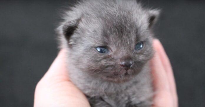 sugar adottato gattino