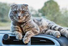 gatto sul cruscotto dell'auto