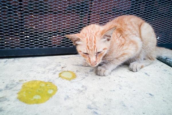gatto che vomita spesso