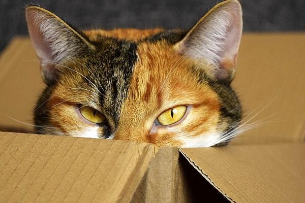 gatta dentro una scatola