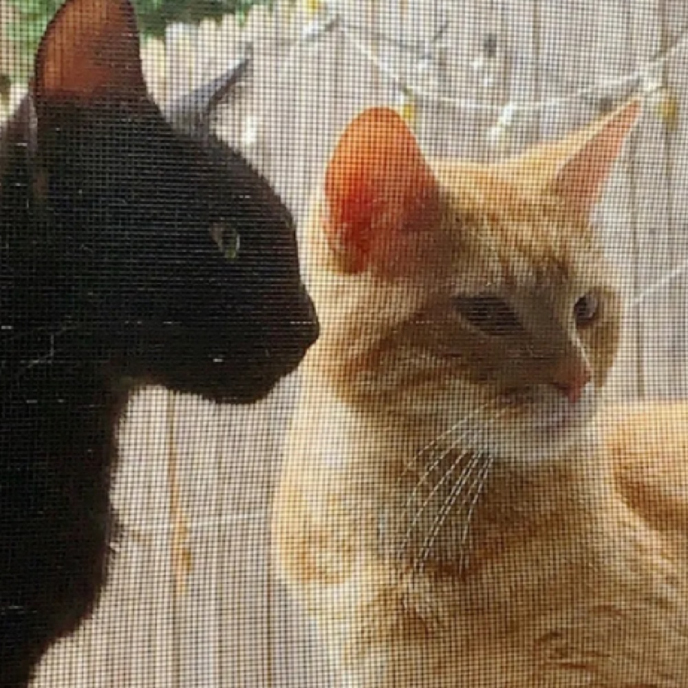 miso suki gattini insistenza
