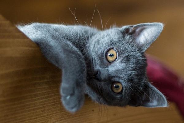 gattino certosino