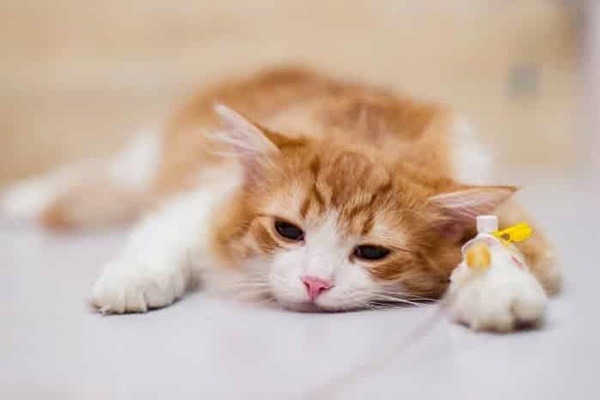 gatto arancione e bianco con la flebo