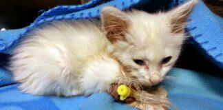 parvovirus mortale nei gattini