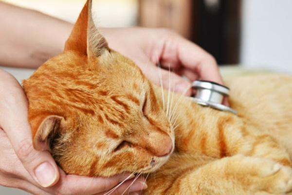 battiti del cuore del gatto