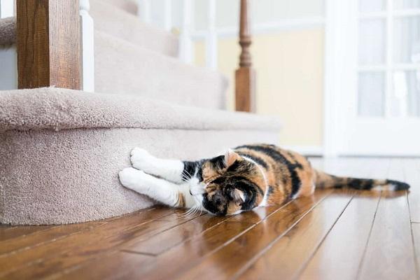 gatto graffia moquette