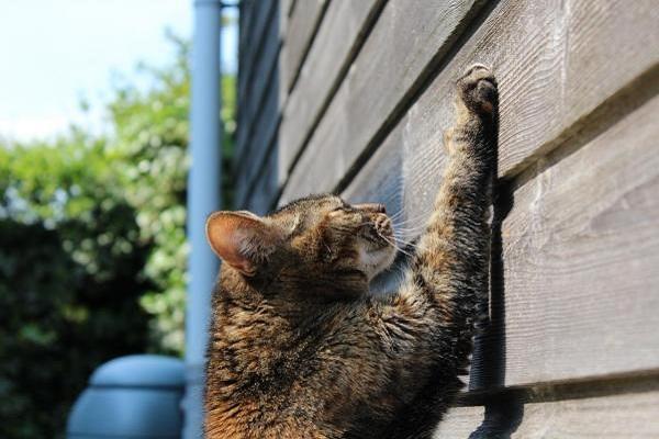 gatto che graffia muro