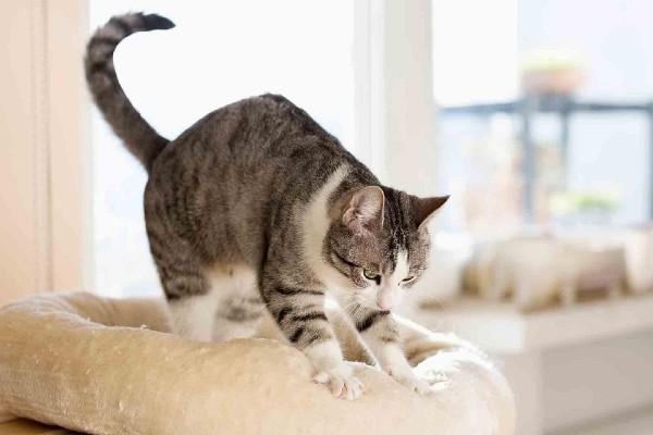 gatto graffia un cuscino