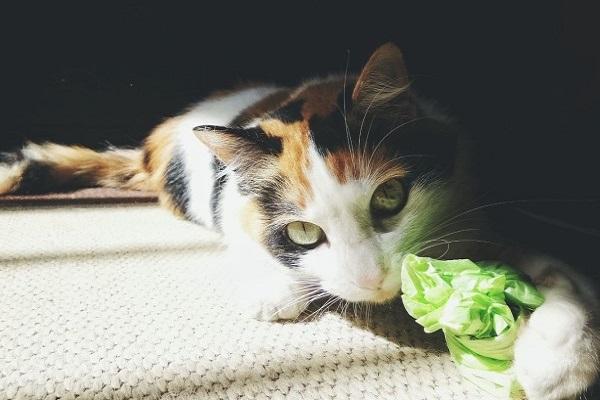 gatto mangia plastica