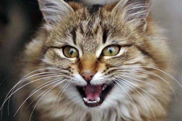 gatto a pelo lungo che miagola