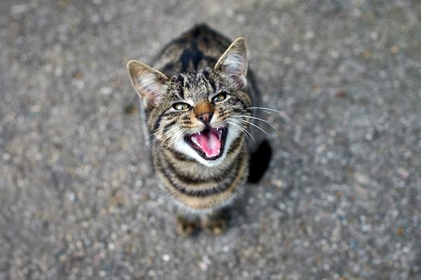 gatto che comunica con il miagolio
