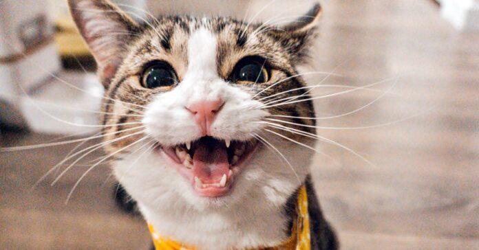 gatto con la faccia buffa