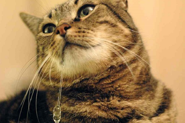 gatto che perde saliva