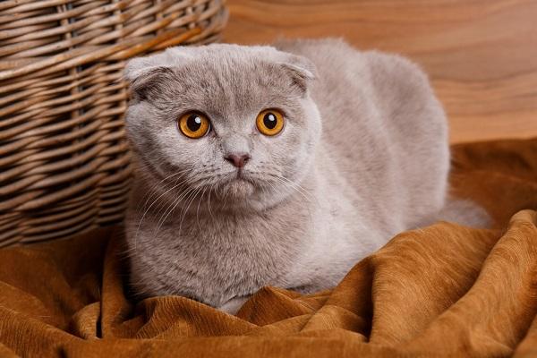 gatto con orecchie schiacciate