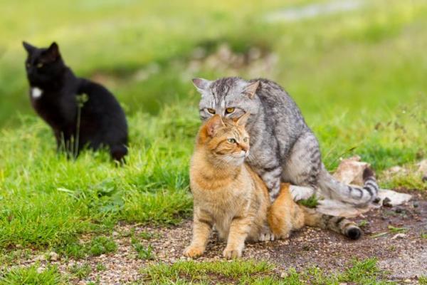 gatti che si accoppiano