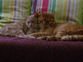 gatti vicini sul divano