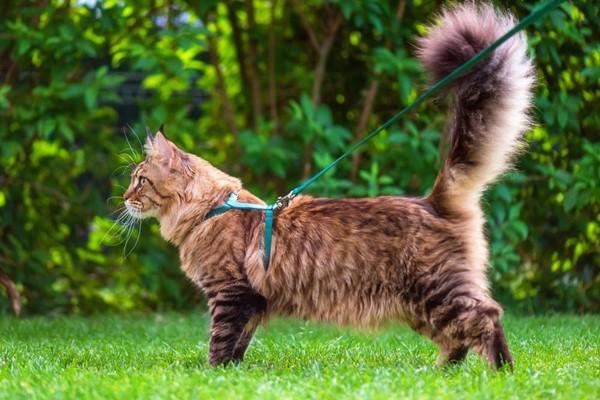 gatto a pelo lungo con la pettorina