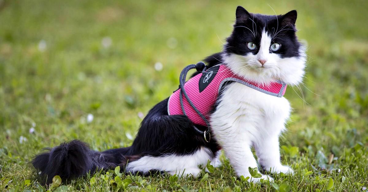 gatto con la pettorina rosa
