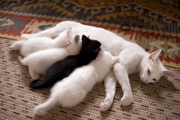gatta bianca con i cuccioli
