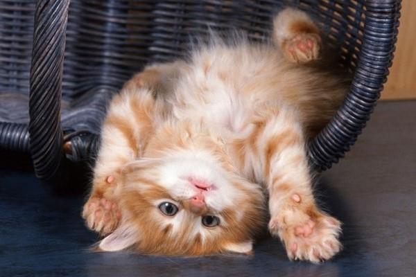 gattino in una posa buffa