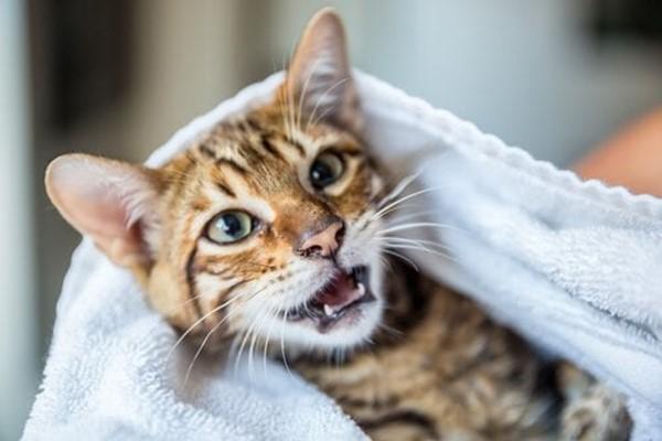 asciugare il gatto dopo il bagno