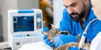 veterinario misura la pressione al gatto
