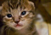 gattino con occhi scuri