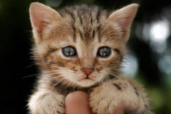 gattino selvatico