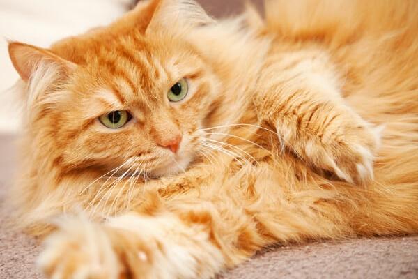 gatto arancione a pelo lungo