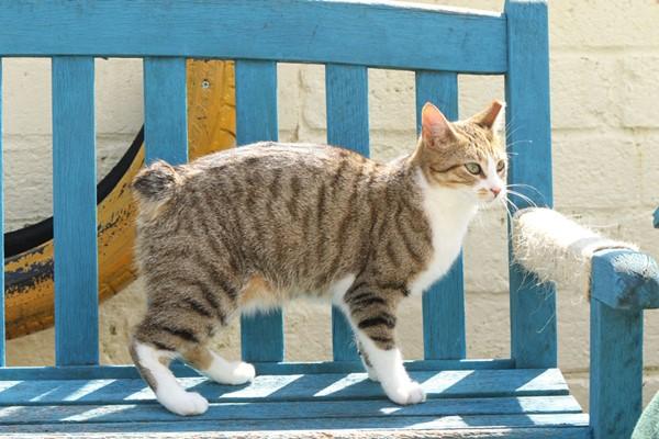 gatto dell'isola di man
