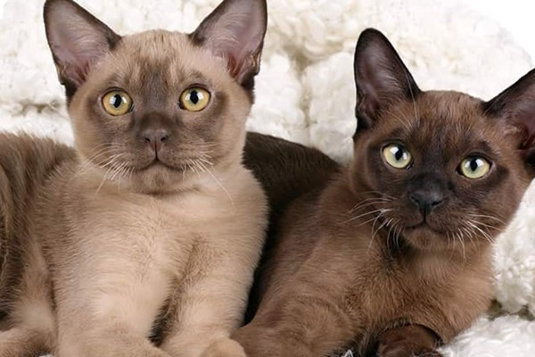 due gatti di razza burmese