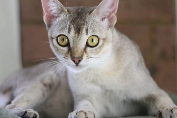 gatto di razza burmilla