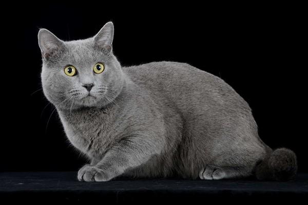 gatto certosino di colore grigio