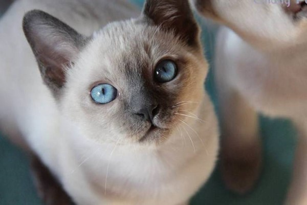 musetto dolce del gattino